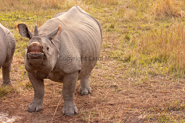 Kaziranga, India. Greater one-horned rhino making a funny face with its lips (like a rasberry) at