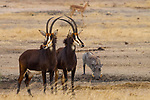 Sable Antelope (Hippotragus niger) females with male Common Warthog (Phacochoerus africanus)  at waterhole, Kruger National Park, South Africa