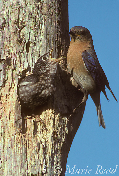 Eastern Bluebirds (Sialia sialis), nestling near fledging age begging from female at nest hole in dead tree, Ithaca, New York, USA.<br /> Slide # B136-08