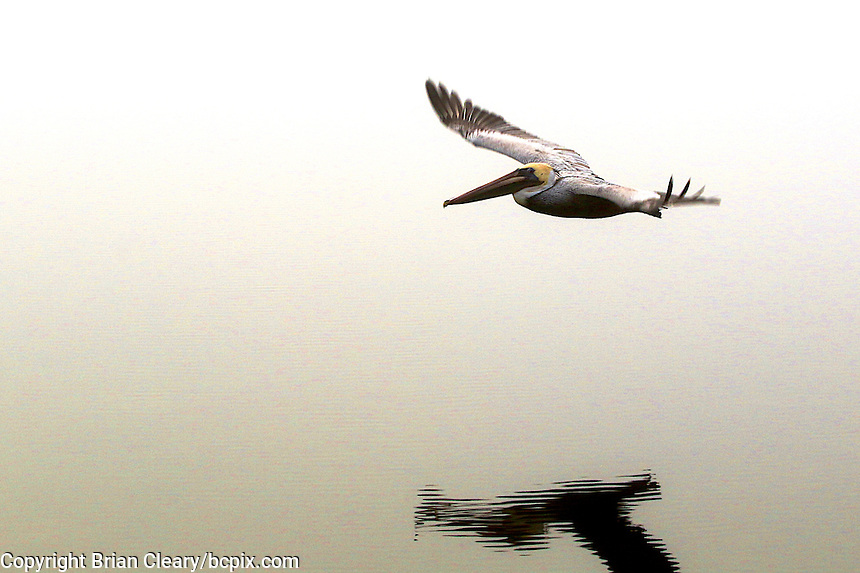 A Pelican glides above the Halifax River in Ormond Beach , Florida on a foggy February morning.  (Photo by Brian Cleary/www.bcpix.com)