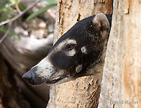 0717-1105  White-nosed Coati (Pizote, Antoon, Tej—n), Resting in a Tree Cavity, Racoon Family, Arizona, Nasua narica  © David Kuhn/Dwight Kuhn Photography