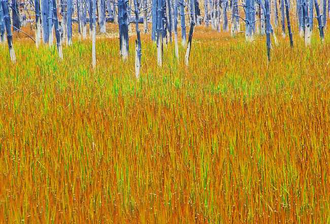A sea of grasses grow in front of Calcium Carbonate coated tree trunks in the Upper Geyser Basin area in Yellowstone National Park in Wyoming