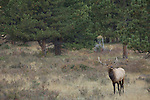 American elk, wapiti, Cervus elaphus, bull, forest, October, fall, autumn, afternoon, Beaver Meadows, Rocky Mountain National Park, Colorado, USA