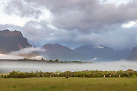 Herd of domestic cows in a field near Lake Wakatipu with mountains visible in the background behind a fog, near Queenstown, South Island, New Zealand