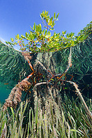 TH2285-D. Red Mangrove trees (Rhizophora mangle) and Turtlegrass (Thalassia testudinum) seagrass form a submerged forest, a tangle of roots and shoots and leaves which provide critical habitat for fish, invertebrates, and even sharks and rays. Cuba, Caribbean Sea.<br /> Photo Copyright &copy; Brandon Cole. All rights reserved worldwide.  www.brandoncole.com