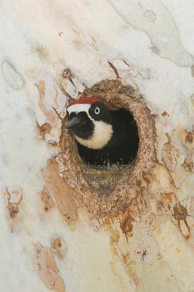Acorn Woodpecker, Melanerpes formicivorus, male in nesting cavity in sycamore tree, Madera Canyon, Arizona, USA, May 2005