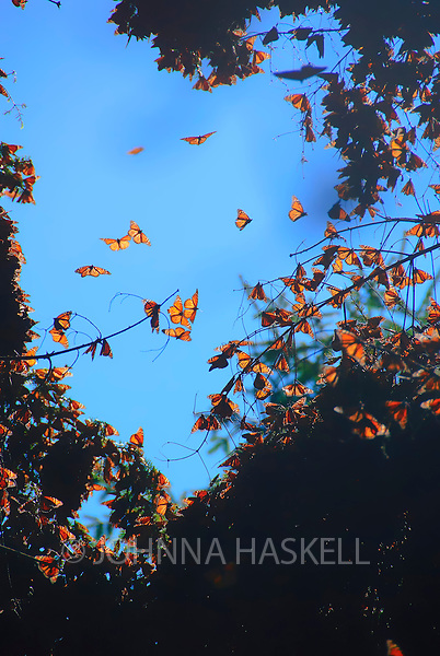 Monarch butterflies migrate to Mexico and cluster in the trees to keep warm during the winter months.