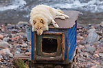Northeast Greenland Scoresby Sound, Ittoqqortoormiit , sled dogs