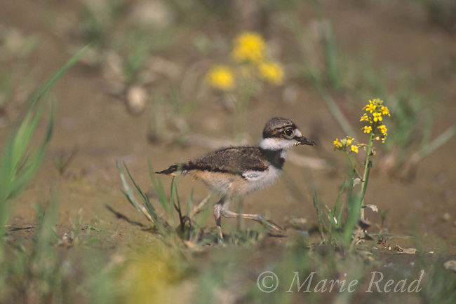 Killdeer (Charadrius vociferus) chick, New York, USA<br /> Slide # B52-173 May 2003