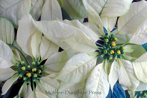 White poinsettia, Euohorbia pulcherrima, decorative plant for Christmas and winter  holiday