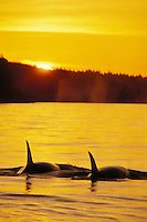 Orca or Killer Whales (Orcinus orca) Northwest coast.  Sunset.