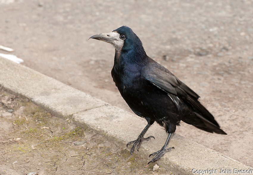 Carrion Crow (Corvus corone) at Abington, Scottish Borders, Scotland.
