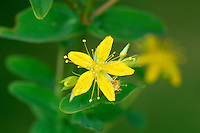 SQUARE-STALKED ST JOHN'S-WORT Hypericum tetrapterum (Clusiaceae) Height to 1m. Upright, hairless perennial. Similar to Imperforate St John's-wort but the square stems are distinctly winged. Found in damp ground. FLOWERS are 2cm across with yellow petals and undotted, pointed sepals (Jun-Sep). FRUITS are dry capsules. LEAVES are oval with translucent dots. STATUS-Widespread and locally common, except in the N.