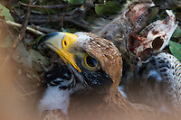 Close-up of a young Verreaux Eagle with prey on nest