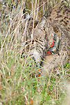 Wild Iberian Lynx with radio tracking collar attached,walking through tall grass.