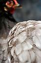 23/11/12 - MONTLUCON - ALLIER - FRANCE - Concours National Avicole de Montlucon . Poule Pekin bleu. Eleveur Yannick Jore - Photo Jerome CHABANNE