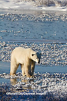 01874-12408 Polar bear (Ursus maritimus) walking on frozen pond in winter, Churchill Wildlife Management Area, Churchill, MB Canada