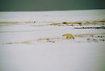 Polar bear walks across snowy tundra into the wind at Hudson Bay, Manitoba, Canada.
