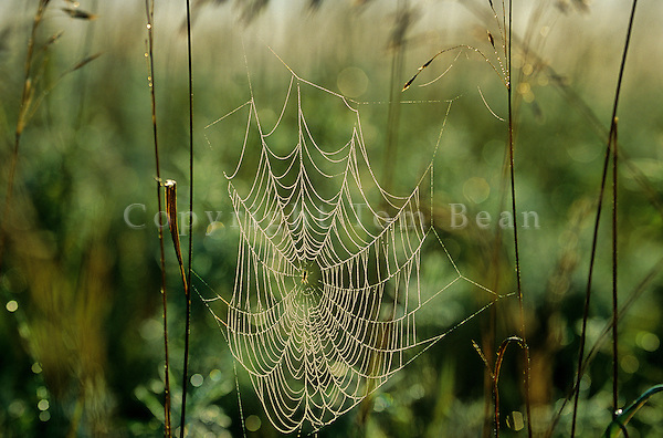 Orb weaver spider web covered with morning dew at Sheyenne National Grassland east of Lisbon, North Dakota, AGPix_0188.