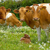 Guernsey cows with calf. Somerset.