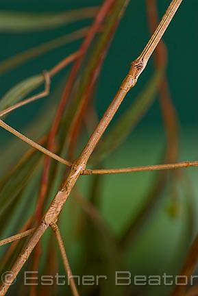 Australian Stick Insect (Ctenomorpha chromus) Fam. Phasmatidae feeding on Ironbark eucalypt, Central Coast, New South Wales