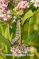 03536-046.19 Monarch (Danaus plexippus) caterpillar on Swamp Milkweed (Asclepias incarnata) Marion Co. IL