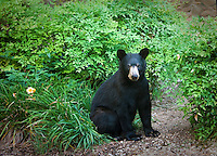 Black Bear cub sitting in garden