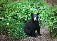 Black Bear cub sitting in garden