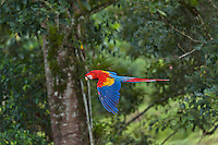 Scarlet Macaw (Ara macao).  Found from southern Mexico south to the rainforests of the Amazon Basin in South America.  Photo taken in Costa Rica.