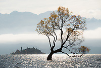 Solitary willow tree at Lake Wanaka, Central Otago, South Island, New Zealand, NZ