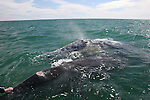 cow and calf gray whale
