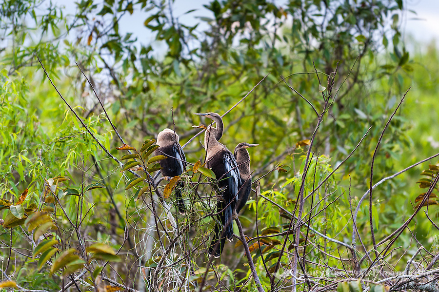 US, Florida, Everglades, Shark Valley. Female Anhinga.
