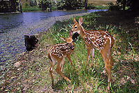 White tailed deer fawns nuzzling each other beside creek, Missouri