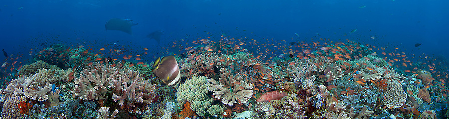 Hard and soft coral, schooling anthias and manta rays all come together in this Indonesian reef scene.  Several images were digitally combined for this panorama.