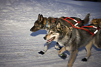 Robert Nelson's lead dogs trot down the trail into Takotna on Thursday evening during the 2008 Iditarod