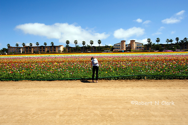 Young woman with camera at the Ranunculus fields in Carlsbad