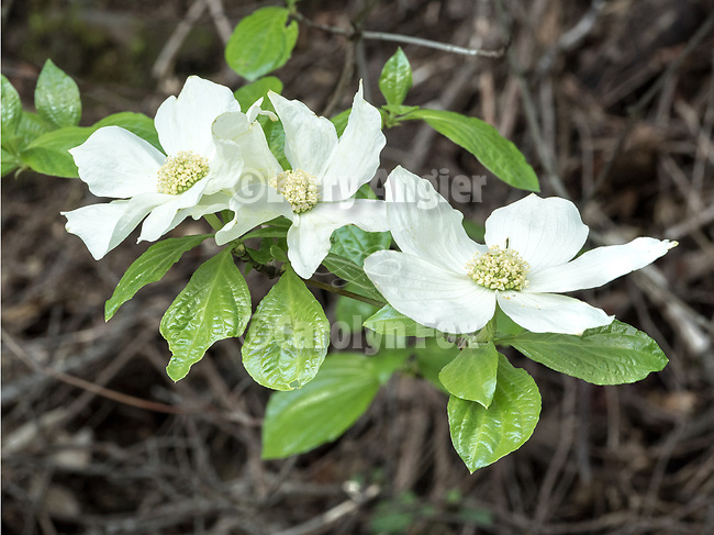 Three dogwood flowers blooming near Tiger Creek Reservoir, Amador County, Calif.