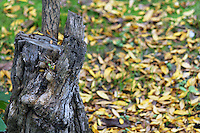 Stock image of worn tree stump and yellow leaves fallen on ground.