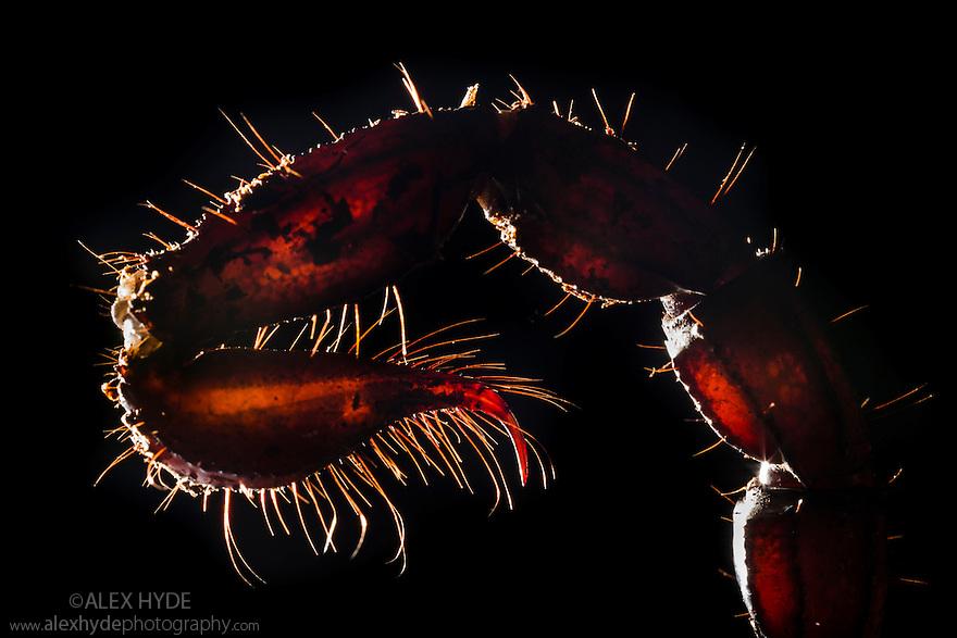 Sting of Giant Forest Scorpion [Heterometrus laoticus}. Captive, originating from Vietnam / Thailand