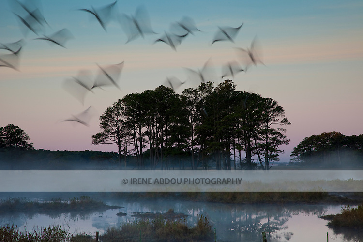 At sunrise, a flock of birds fly through and above the mist over the waters of Chincoteague National Wildlife Refuge on Assateague Island, Virginia.