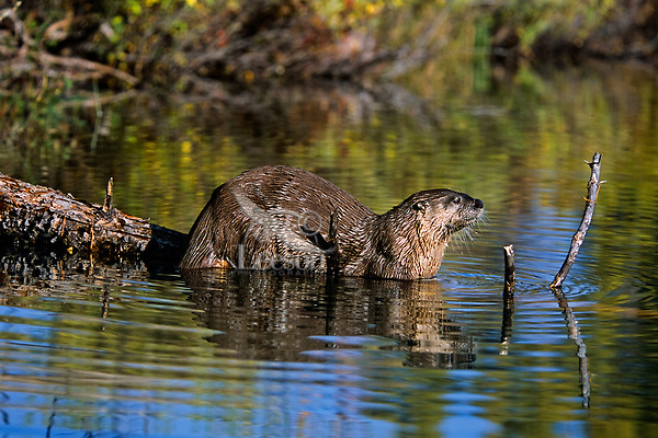 North American River Otter (Lontra canadensis).  Western U.S..