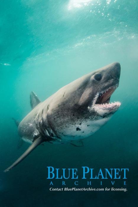 Salmon Shark, Lamna ditropis, Port Fidalgo, Prince William Sound, Alaska, North Pacific Ocean
