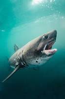 Salmon Shark, Lamna ditropis, Port Fidalgo, Prince William Sound, Alaska, North Pacific Ocean