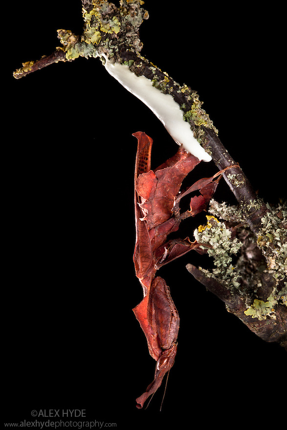 Ghost Mantis {Phyllocrania paradoxa} laying ootheca (egg mass) on twig. Captive. Distribution: Africa / Madagascar. website