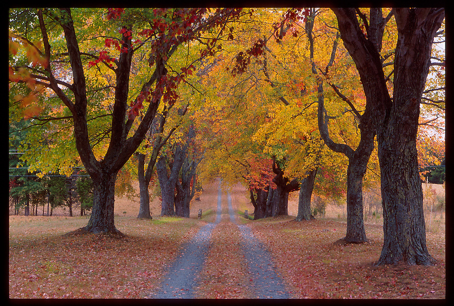 A fall colored tree lined road in Albemarle County, Va.