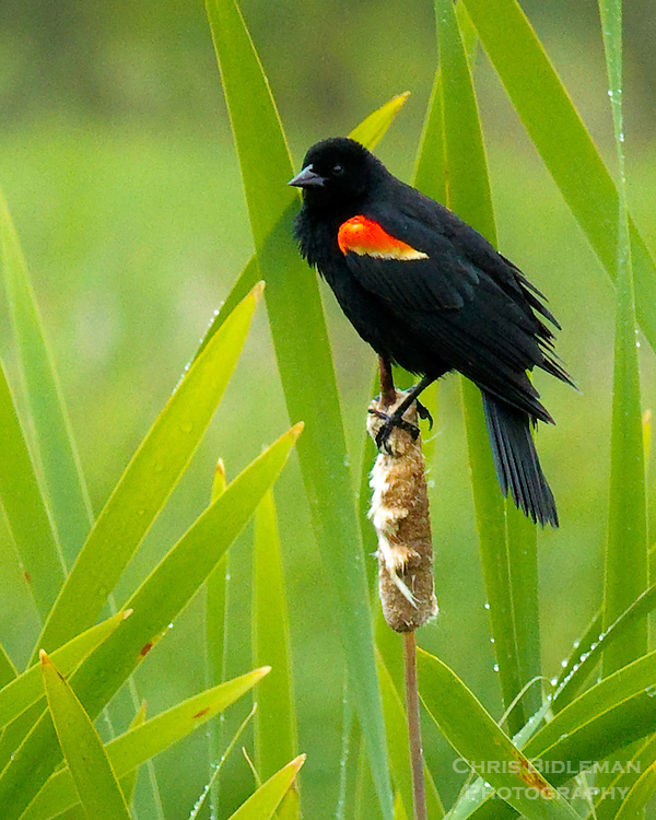 Red-winged Blackbird perching on cattail in marsh among reeds of Ridgefield National Wildlife Refuge