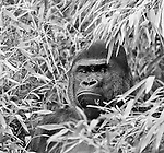 Gorilla sitting in bamboo