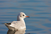Black headed Gull (Chroicocephalus ridibundus) swimming. First winter plumage. The plumage of gulls is a difficult one to follow and learn. The plumage takes a couple of seasons to develop into the adult plumage and full maturity. Until then each season is different with one winter different to the next, same with summer plumage's. In this image it is similar to the non breeding plumage of the adult.