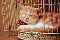 "January 15, 2015, Tokyo, Japan : A cat sleeps in a birdcage at the ""Temari No Uchi"" Cat Cafe in Tokyo, Japan. Temari No Uchi, a Neko Cafe (cat cafe) based in Kichijoji where visitors can watch and interact with 19 cats whilst eating or having a coffee break. The store opened in April 2013 and allows to customers to play with cats and to escape from the stresses of the city life. The entrance fee is 1200 JPY (9.75 USD) on weekdays and 1600 JPY (12.99 USD) on weekend with discounts after 7pm. Drinks and food are charged separately. According to the shop staff most visitors are Japanese women but also men and children visit this cafe. The fist cat cafe in the world opened in Taipei, Taiwan in 1998, and the fist Japanese store was opened in Osaka in 2004. (Photo by Rodrigo Reyes Marin/AFLO)"