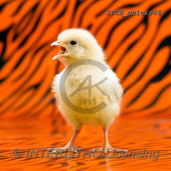 Xavier, EASTER, OSTERN, PASCUA, photos+++++,SPCHCHICKS46,#e#, EVERYDAY ,chicken